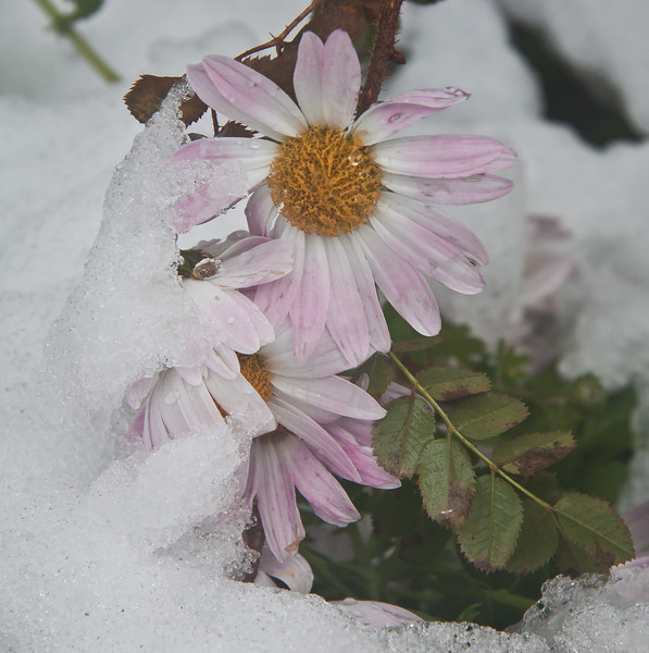 late blooming, pink, perennial chrysanthemums in snow, coastal Maine Phippsburg garden in winter