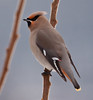 Bohemian Waxwing, perched, left facing, February, 2011, Phippsburg Maine