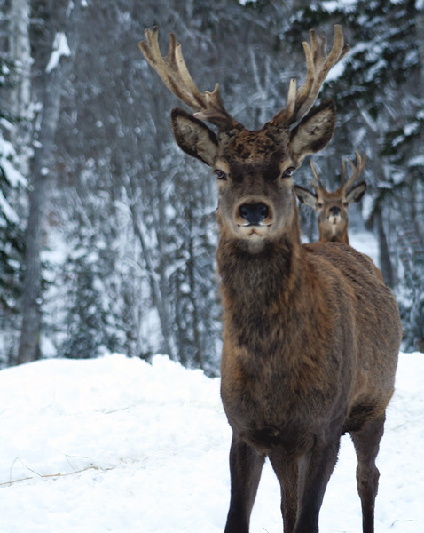 Deer with antlers in snow, frontal view large wild animal, Maine winter scene