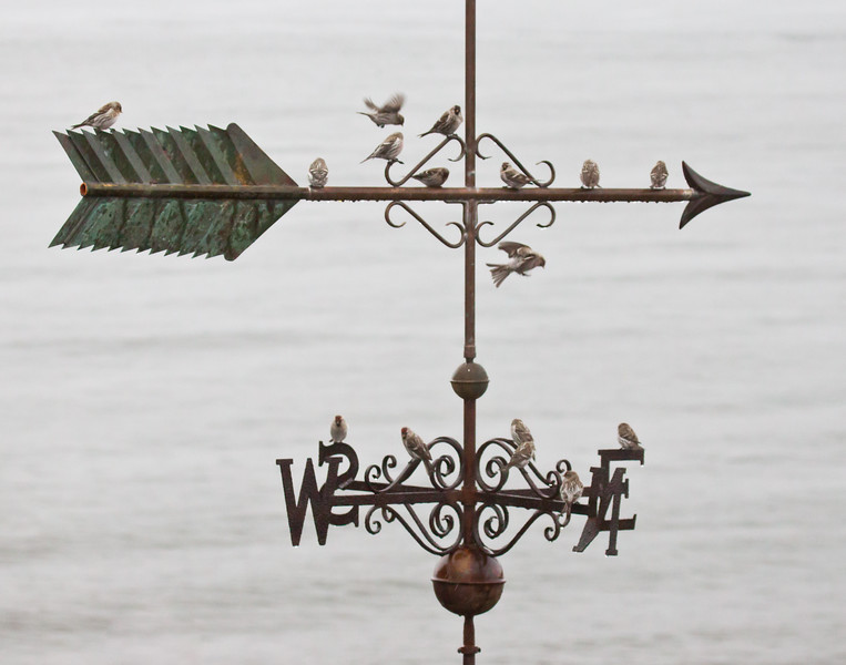 Pine siskins on weathervane, Phippsburg, Maine, March 2011