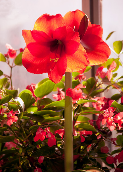 scarlet red amarylis with Wax Begonia, Phippsburg, Maine in my greenhouse