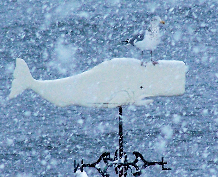 Which Way To Go In The Snow? A Herring gull waits out the storm perched on a Right whale weather vane.