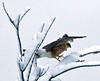 Broad Winged hawk in snow, Phippsburg Maine, February 2009, Totman Cove