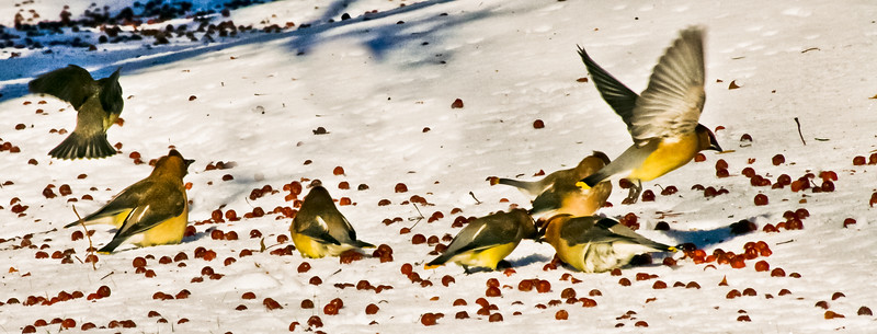 Cedar Waxwing flock eating crab apples in snow, Bath, Maine winter. I like the two on the bottom right of the frame - with hundreds of red fruits on the ground, they are tussling over same one!