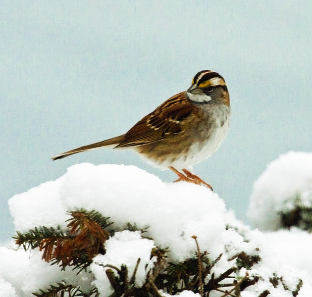White-throated sparrow in snow, Totman Cove, Phippsburg, Maine