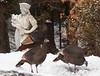 Wild Turkey in my Phippsburg, Maine coastal garden with a garden statue in the snow