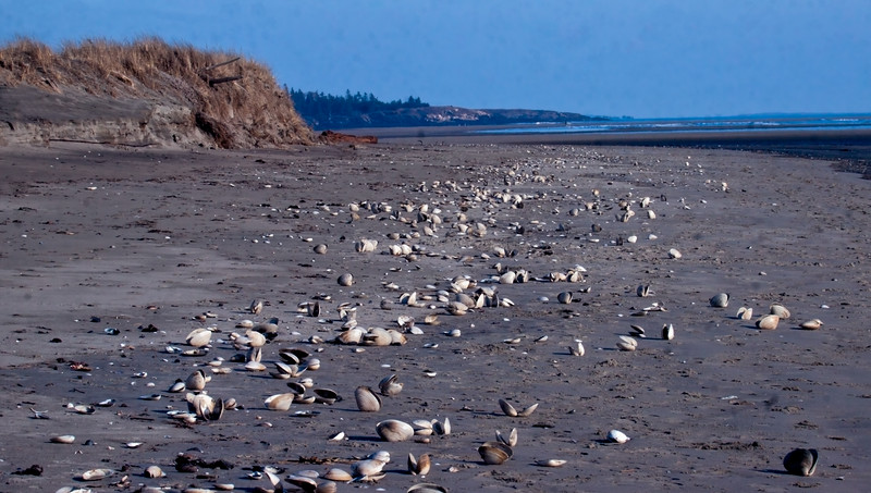 Seawall Beach strand line of Hen clam shells (type of Quahog) washed in after storm, looking east and north, Phippsburg, Maine winter