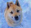 "my Shiba Inu dog ""Perry's Nose"" in snow. He loves the snow!"