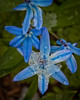 Siberian Squill with snow, Phippsburg Maine late winter garden
