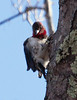 Red-headed woodpecker, male juvenile, Warren Maine, February, 2012