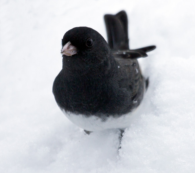 Dark Eyed Junco, Slate Colored in snow, frontal view, close up, winter bird also called Snow Birds, Phippsburg, Maine