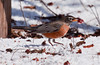 American robin eating crab apple in snow, Bath Maine February 2012