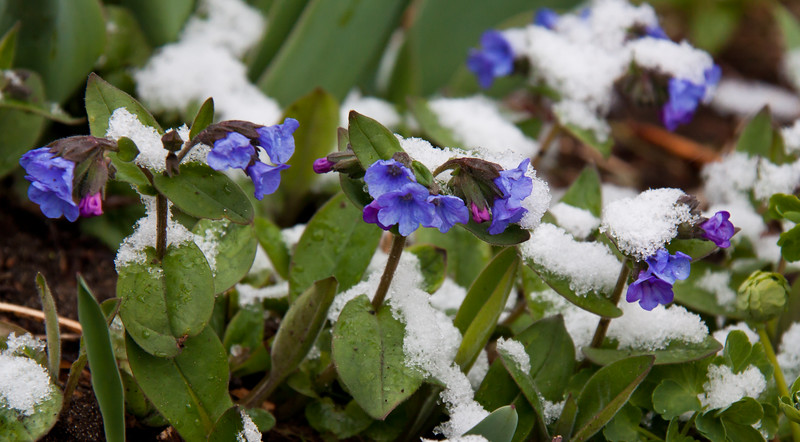 blue Pulmonaria, also known as Lungwort cloaked in snow, April, Phippsburg, Maine