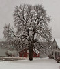 Chestnut tree in snow after winter storm, Thomaston, Maine. Anthony Bourdain, famed food writer, did an episode of No Reservations in the red barn on the St. George River