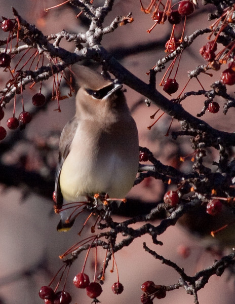 Cedar Waxwing eating crabapple tree, Bath Maine, winter bird. We do have Cedar Waxwings all year round in coastal Maine. There are more of them seen in the winter months.