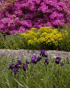 A Phippsburg, Maine garden with Lady's Mantle, azalea and German Bearded irises