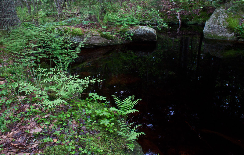 woodland pool, stream side, Phippsburg, Maine in spring, Royal ferns, moss