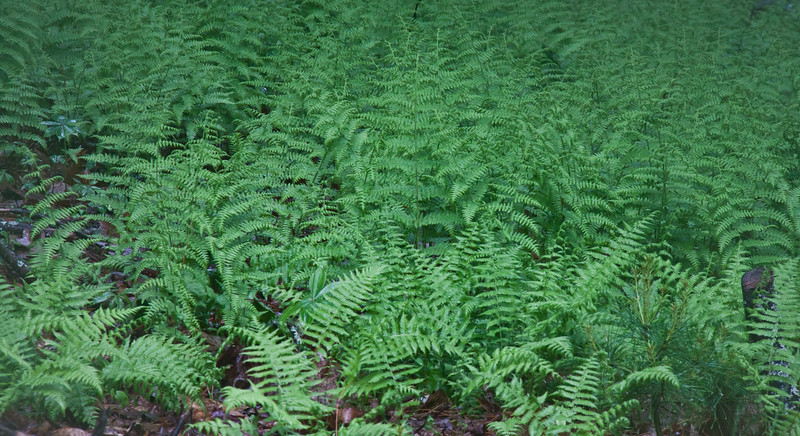 Lady ferns, Phippsburg Maine. As verdant as it gets!