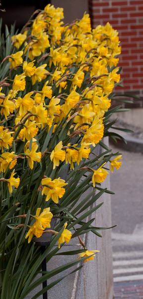 spring daffodills, Bath Maine March