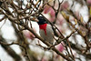 Rose-breasted Grossbeak, male sitting in magnolia