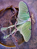 Luna moth, Phippsburg Maine
