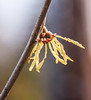 Witchhazel is one of the first flowering shrubs or small trees to bloom in spring in Maine. This one was photographed in April in Phippsburg, In Maine, common witchhazel is often found growing beneath the shade of beech and birch trees, keeping company with beaked filbert (Corylus cornuta) and an occasional native honeysuckle (Lonicera canadensis), and surrounded by colonies of maple-leaf viburnum (Viburnum acerifolium). It is intolerant of flooding and prefers drier sites.