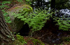 Royal ferns by moss covered boulder and tree trunk in woods with reflecting pool, Phippsburg, Maine, spring