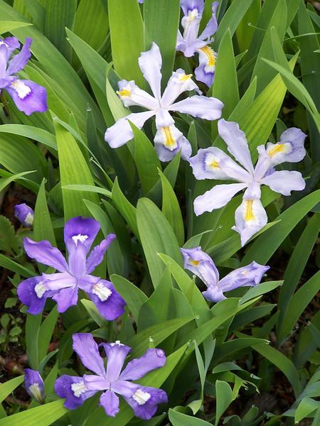 Crested Irises, coastal Maine Phippsburg Garden, spring