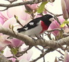 Rose Breasted Grossbeak, male in magnolia
