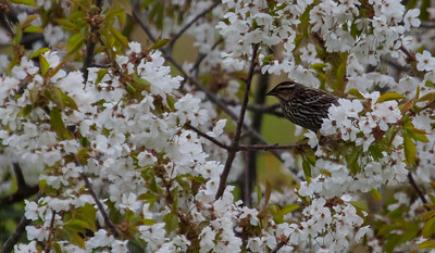 European Starling, female in crabapple blossom, spring scene, PHippsburg Maine