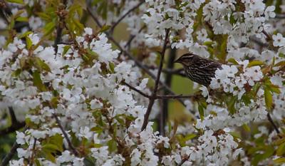 European Starling, female in crabapple blossom, spring scene, PHippsburg Maine