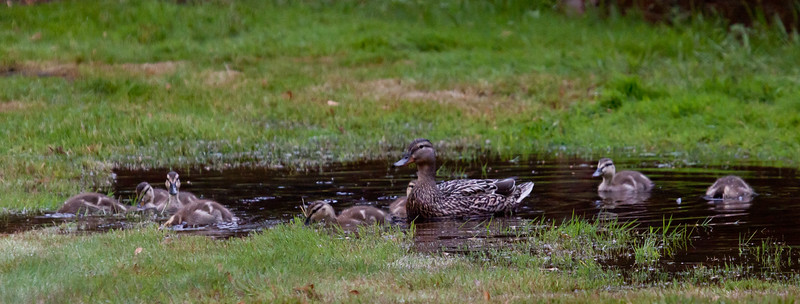 Mallard hen with ducklings, Bath Maine June