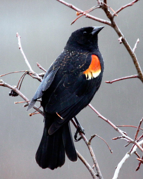 Redwinged Blackbird In The Rain