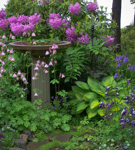 Rhododendron, pink with pink Columbine, Spring Time Bird Bath, Phippsburg Maine coastal garden