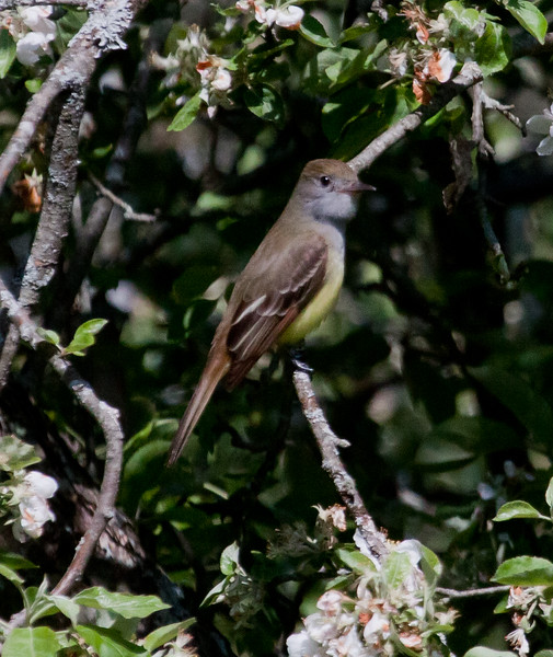 Great Crested Flycatcher, May, Phippsburg Maine Myiachus crinitus, Great Crested Flycatcher, insect eater, cavity nester