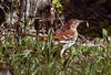 Brown Thrasher with caterpillar, Phippsburg Maine May