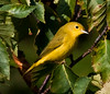 Yellow warbler, female, Phippsburg Maine