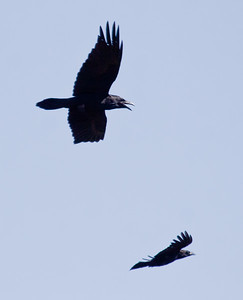 Common raven and American crow in flight, the raven is chasing the crow and vocalizing while flying, Phippsburg, Maine