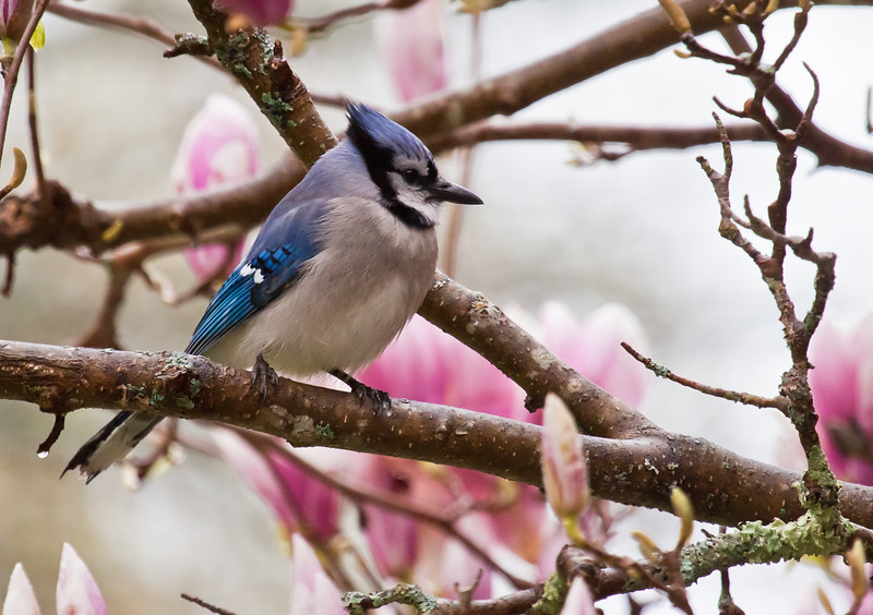 Blue Jay in magnolia