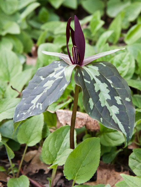 red trillium, Trillium recurvatum, Trillium reliquum (endangered), Wake Robin,also called Stinking Charlie for its odor which some say is like rotting meat, an indigenous Maine wildflower, woodlands Phippsburg