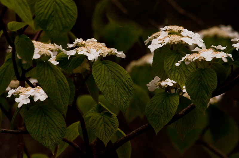 native viburnum, Hobble Bush or Witch's Hobble