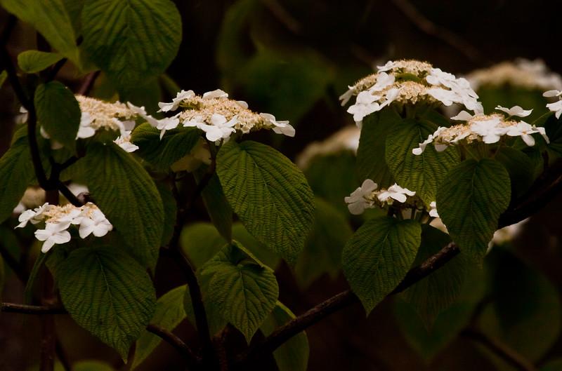 native viburnum, Hobble Bush or Witch's Hobble