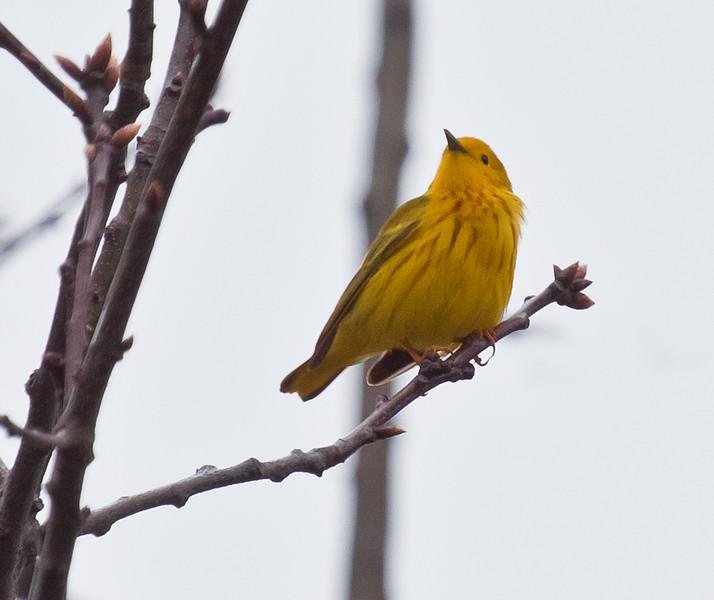 Common Yellow Warbler, breeding plumage, Phippsburg, Maine