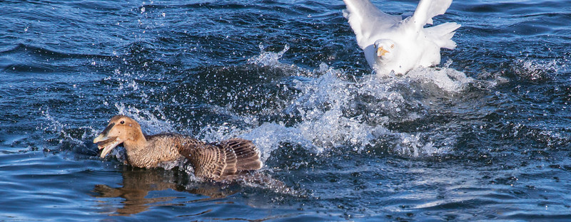 This is a Common Eider hen with a crab. The Herring gull is trying to steal it from her. Good luck, Buddy! Phippsburg, Maine. Herring gulls are opportunistic feeders that frequently steal food from other animals, birds and beasts.