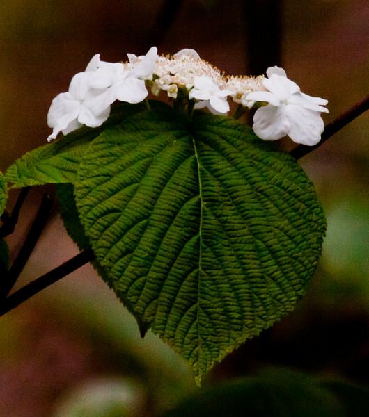 native viburnum, Witch's Hobble