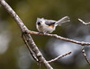 Tufted Titmouse, windblown