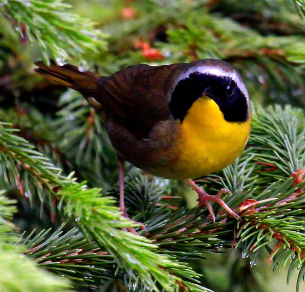 Yellow throated warbler male, June, Phippsburg maine