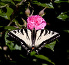 Canadian Tiger Swallowtail on Gootendorst rose, Phippsburg, Maine coastal garden