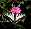 Canadian Tiger Swallowtail on Gootendorst rose, Phippsburg, Maine coastal garden