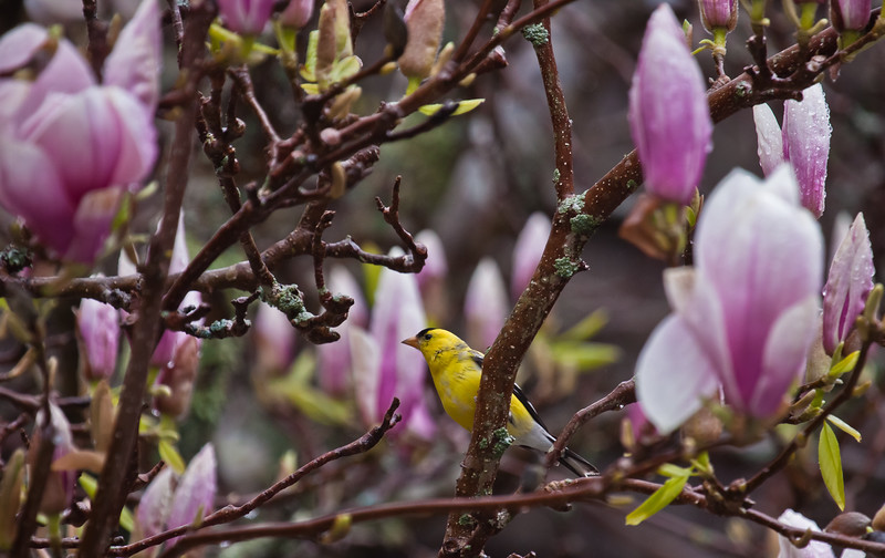 Goldfinch In Magnolia